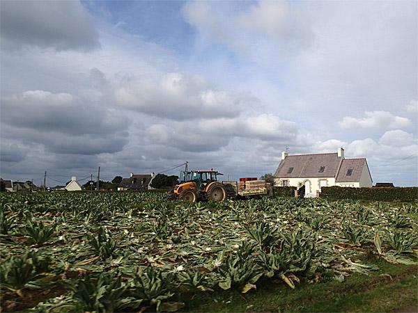 Côte des Légendes : culture du chou